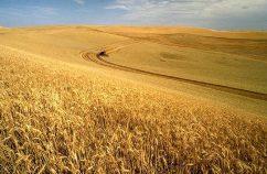 Gorgeous wheat field